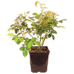 Potted Bush Orange Blossom Special