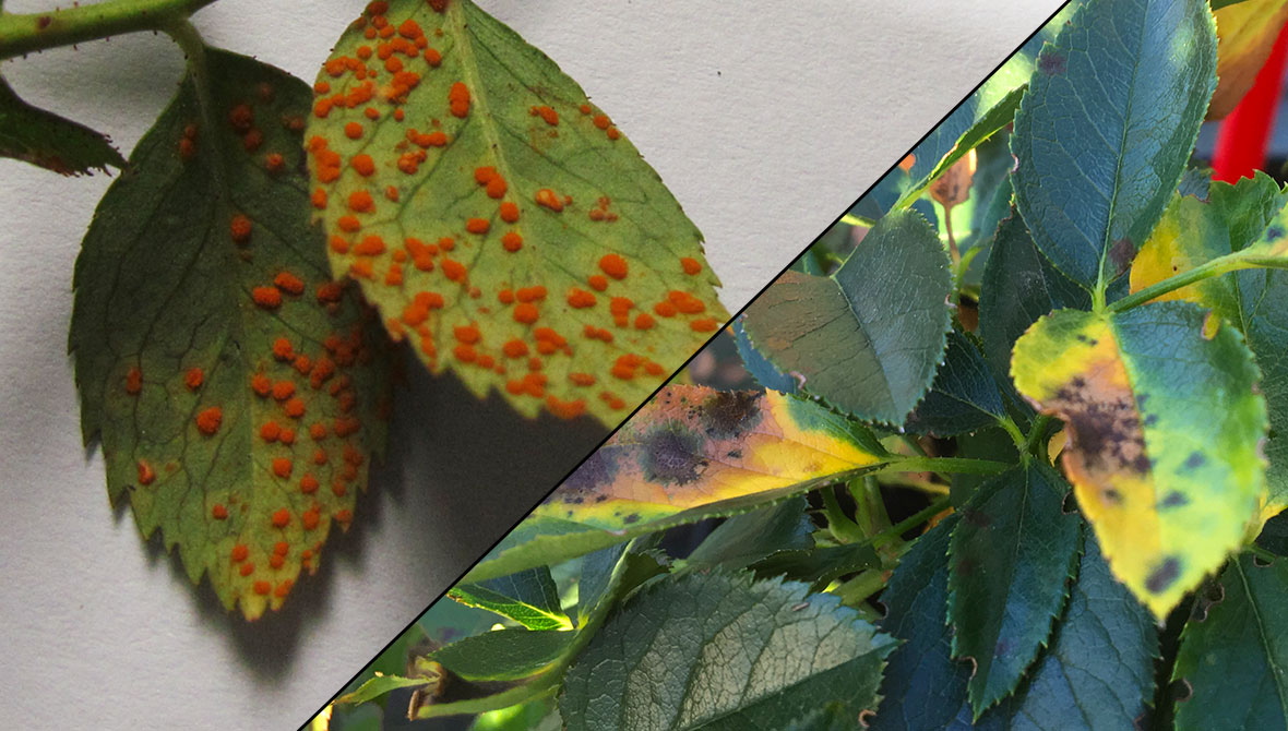 How to Treat Rose Blackspot & Rust Issues